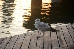 Чайка на пристани Стоковые Изображения RF
