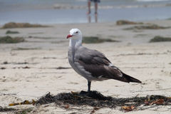 Чайка на пляже - Калифорния, Соединенные Штаты Стоковая Фотография RF