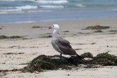 Чайка на пляже - Калифорния, Соединенные Штаты Стоковое Изображение RF