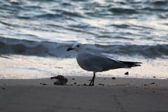 Чайка на пляже Стоковое Фото