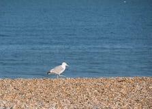 Чайка на пляже Стоковые Изображения RF