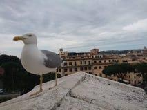 Чайка над Римом Стоковая Фотография RF