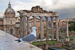 Чайка на римском форуме в Риме, Италии Стоковое фото RF