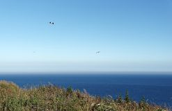 Чайка на скалах Etretat Стоковое Фото