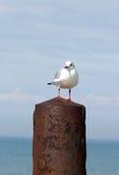 Чайка на столбе в металле Стоковая Фотография