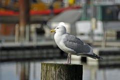 Чайка на столбе Марины Стоковые Изображения