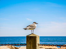 Чайка на столбе стоковая фотография rf