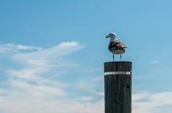 Чайка на столбе Стоковые Фотографии RF