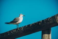 Чайка на столбе Стоковое Изображение