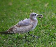 Чайка на траве Стоковое Фото
