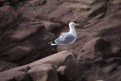 Чайка на утесах Стоковое Фото
