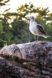 Чайка на утесе Стоковое фото RF