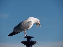Чайка на фонарике Стоковые Изображения RF