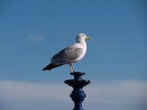 Чайка на фонарике Стоковые Фото
