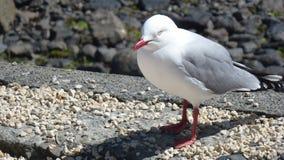 Чайка на Akaroa Стоковые Изображения RF