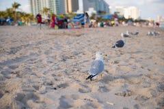 Чайка на Miami Beach Стоковое Изображение