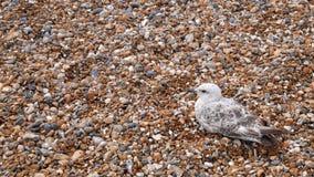 Чайка на Pebble Beach Стоковое Изображение