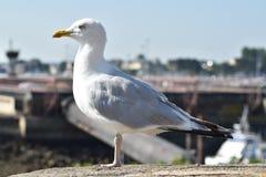 Чайка на ramparts Святого Malo стоковые фотографии rf