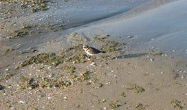 чайка немногая Стоковое Изображение RF