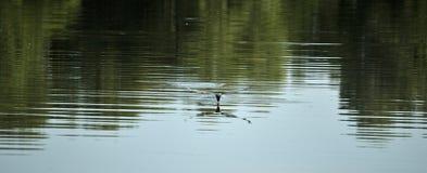 чайка Низко-летания Стоковое Изображение RF