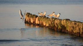 Чайка образа жизни и деревянное Groynes на прибалтийском взморье стоковое фото rf