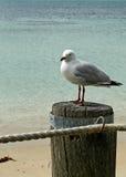 чайка океана Стоковая Фотография