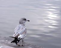 чайка океана Стоковое Фото