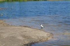 Чайка около пруда Стоковое Изображение RF
