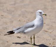чайка Окружённый-Билла на пляже Стоковые Фото