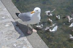 Чайка осторожная в морском порте во Франции стоковые фотографии rf