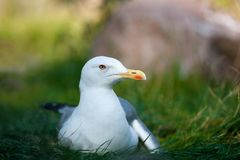 Чайка отдыхает стоковая фотография rf