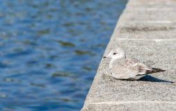 Чайка отдыхая водой Стоковые Изображения