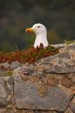 Чайка отдыхая в гнезде Стоковое Фото