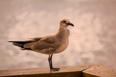 Чайка отдыхая на пристани Стоковое Фото