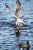 Чайка охотника Стоковое Изображение RF