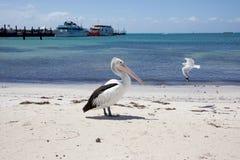 Чайка пеликана и моря Rottnest Стоковое фото RF