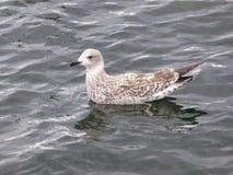 Чайка плавая на морскую воду Стоковое Изображение RF