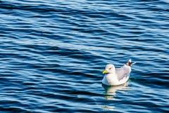 Чайка плавая на Oosterschelde на острове Neeltje Jans в Зеландии стоковые изображения rf