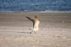 Чайка подготовляя для полета Стоковые Изображения
