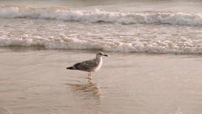 Чайка подсвеченная от захода солнца на пляже океана акции видеоматериалы