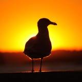 чайка пожара Стоковая Фотография