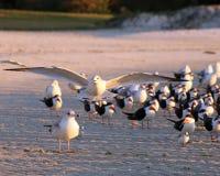 Чайка покидая стадо принимает распространение крылов Стоковые Фото