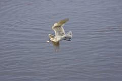 чайка полета рыб Стоковые Фотографии RF