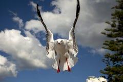 чайка полета Стоковые Фотографии RF