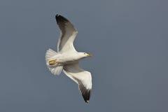 чайка полета Стоковая Фотография