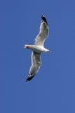 чайка полета Стоковые Изображения RF