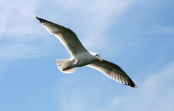 чайка полета Стоковые Изображения