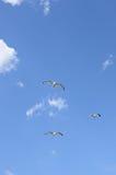 чайка полета Стоковое Изображение RF