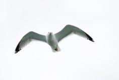 чайка полета одиночная Стоковое фото RF