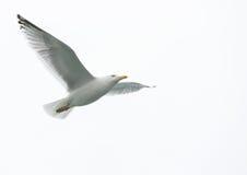 чайка полета одиночная Стоковые Фото